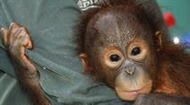 In der «Vier Pfoten» Orang-Utan Academy auf Borneo werden Orang-Utan-Waisen auf ein Leben in Freiheit vorbereitet.