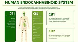 Human Endocannabinoid System.