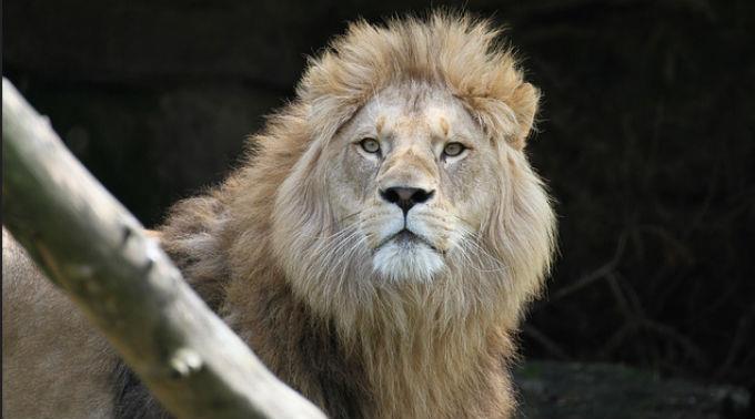 Der Löwe ist aus dem Nationalpark entlaufen.